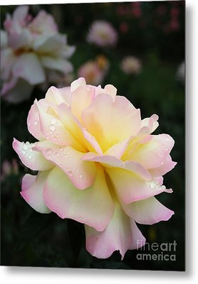 Metal Print featuring the photograph Raindrops On Rose Petals by Barbara McMahon