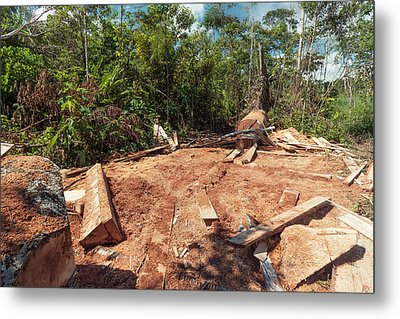 Rainforest Tree Cut For Planks Metal Print by Dr Morley Read