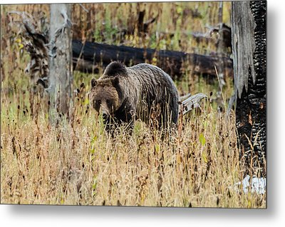 Metal Print featuring the photograph Rainy Day Grizzly Sow by Yeates Photography