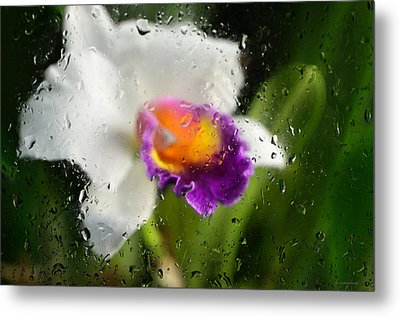 Rainy Day Orchid - Botanical Art By Sharon Cummings Metal Print by Sharon Cummings