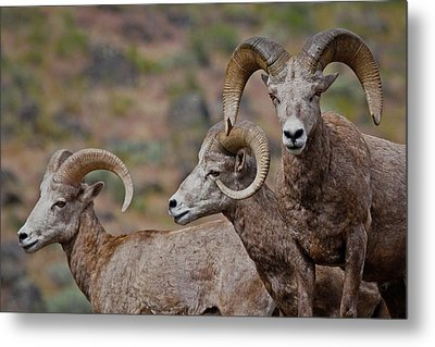 Rams In Three Metal Print by Athena Mckinzie