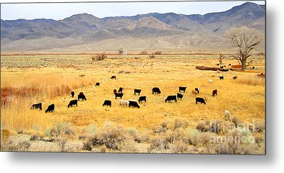 Range Cattle Metal Print