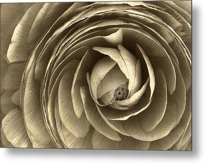 Ranunculus Metal Print by Cindy Rubin