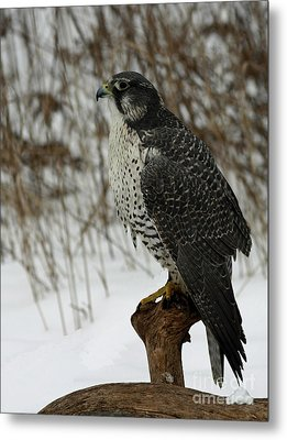 rare Discovery Gyrfalcon in the Winter Snow Metal Print by Inspired Nature Photography Fine Art Photography