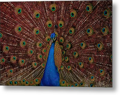 Rare Pink Tail Peacock Metal Print by Eti Reid