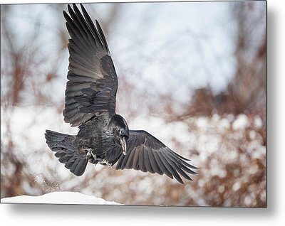 Raven In Flight Metal Print by Bill Wakeley