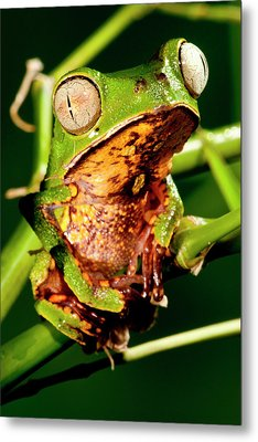 Razor Backed Monkey Frog Phyllomedusa Metal Print