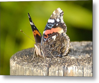 Red Admiral Butterfly Metal Print by David Lee Thompson