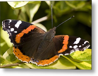 Red Admiral Butterfly Metal Print by Richard Thomas
