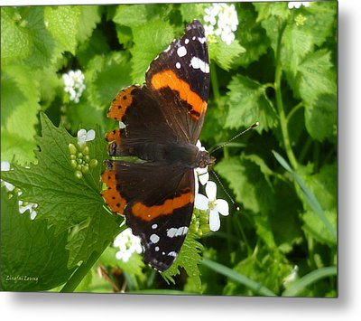 Metal Print featuring the photograph Red Admiral In Toronto by Lingfai Leung