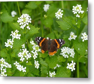 Metal Print featuring the photograph Red Admirals by Lingfai Leung