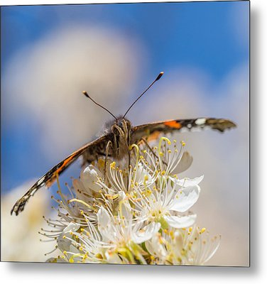 Red Admiral Butterfly On Plum Blossoms Metal Print