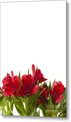 Red Alstroemeria Metal Print by Anne Gilbert