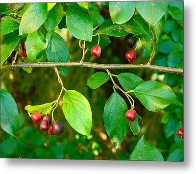 Red And Black Berries Metal Print