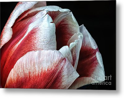 Red And White Tulip Closeup Metal Print by Madonna Martin