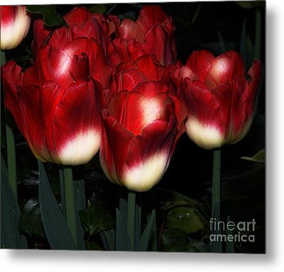 Red And White Tulips Metal Print
