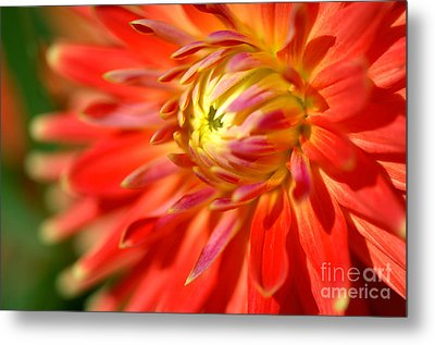 Red And Yellow Dahlia Flower Close Up Metal Print