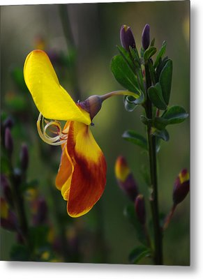 Red And Yellow Scotchbroom Metal Print by Adria Trail