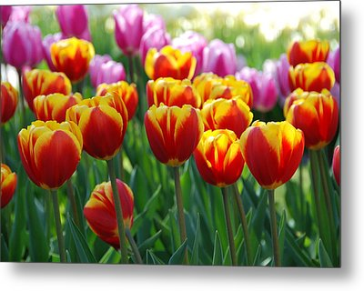 Metal Print featuring the photograph Red And Yellow Tulips  by Allen Beatty