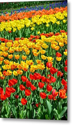 Red And Yellow Tulips Metal Print by Gynt