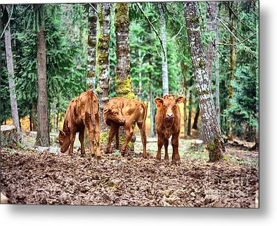 Metal Print featuring the pyrography Red Angus Calves by Larry Campbell