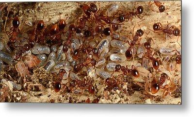 Red Ants With Larvae Metal Print by Nigel Downer