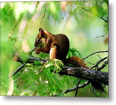 Red Aquirrel Metal Print