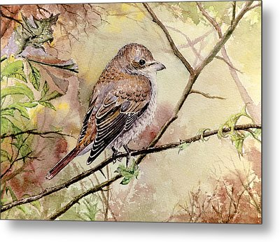 Red Backed Shrike Metal Print by Andrew Read