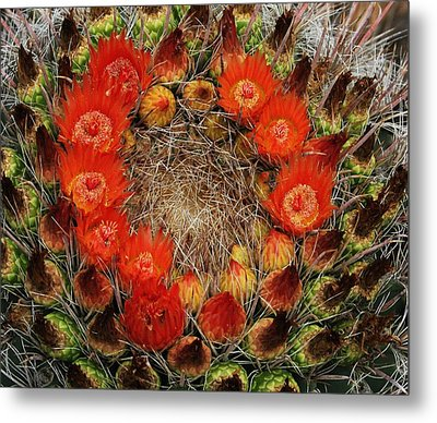 Metal Print featuring the photograph Red Barell Cactus Flowers by Tom Janca