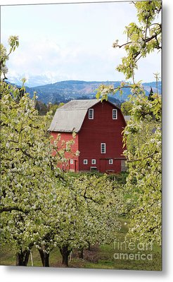 Metal Print featuring the photograph Red Barn And Apple Blossoms by Patricia Babbitt