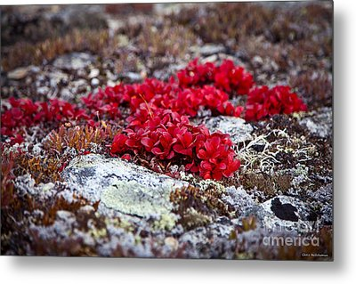 Red Bearberry Metal Print