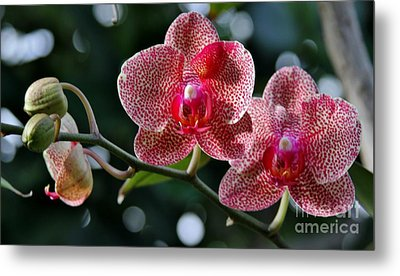 Red Beauty Metal Print by Butch Phillips