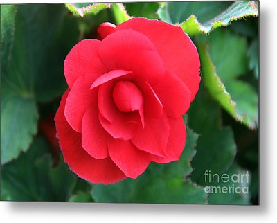 Metal Print featuring the photograph Red Begonia by Sergey Lukashin