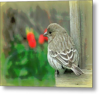 Red Behind Little Beak Metal Print by Heidi Manly