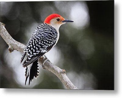 Red-bellied Woodpecker Metal Print by Gary Hall