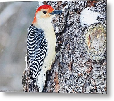 Red Bellied Woodpecker Metal Print by Gena Weiser