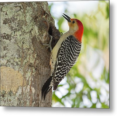 Red-bellied Woodpecker Metal Print by John M Bailey