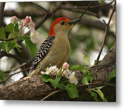 Metal Print featuring the photograph Red-bellied Woodpecker by James Peterson
