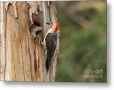 Red-bellied Woodpecker With Chick Metal Print by Jennifer Zelik