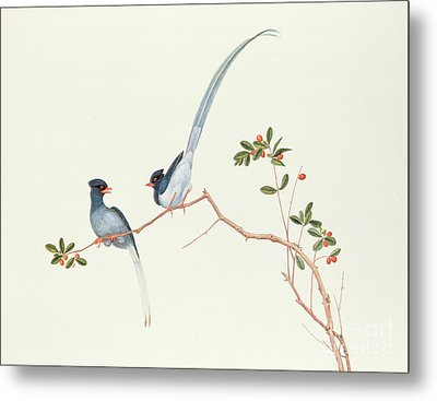 Red Billed Blue Magpies On A Branch With Red Berries Metal Print