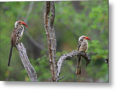 Red-billed Hornbills Metal Print by Bruce J Robinson
