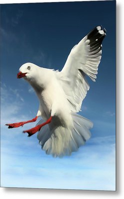 Red Billed Seagull  Metal Print by Amanda Stadther