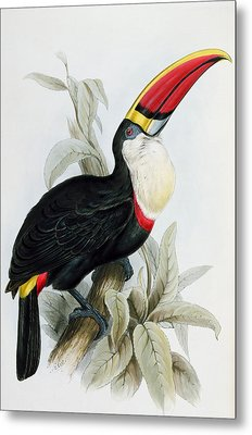Red-billed Toucan Metal Print by Edward Lear