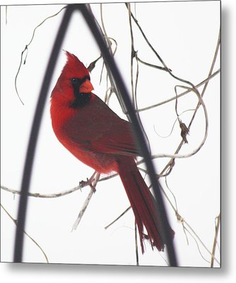 Red Bird On A Vine Original Metal Print by Diane Merkle