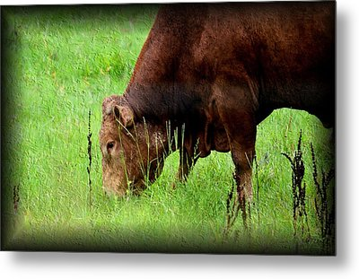 Red Brangus Bull Metal Print by Maria Urso