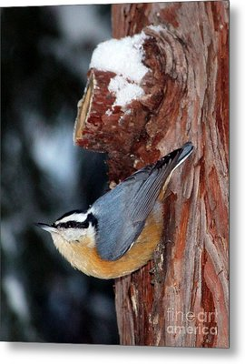 Red Breast Nuthatch  Metal Print