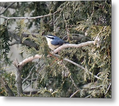 Metal Print featuring the photograph Red Breasted Nuthatch by Brenda Brown