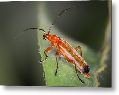 Red Cardinal Beetle Metal Print