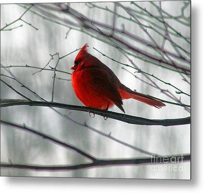 Red Cardinal On Winter Branch  Metal Print by Karen Adams