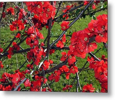 Red Cherry  Metal Print